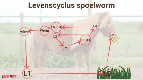 Spoelworm bij paarden